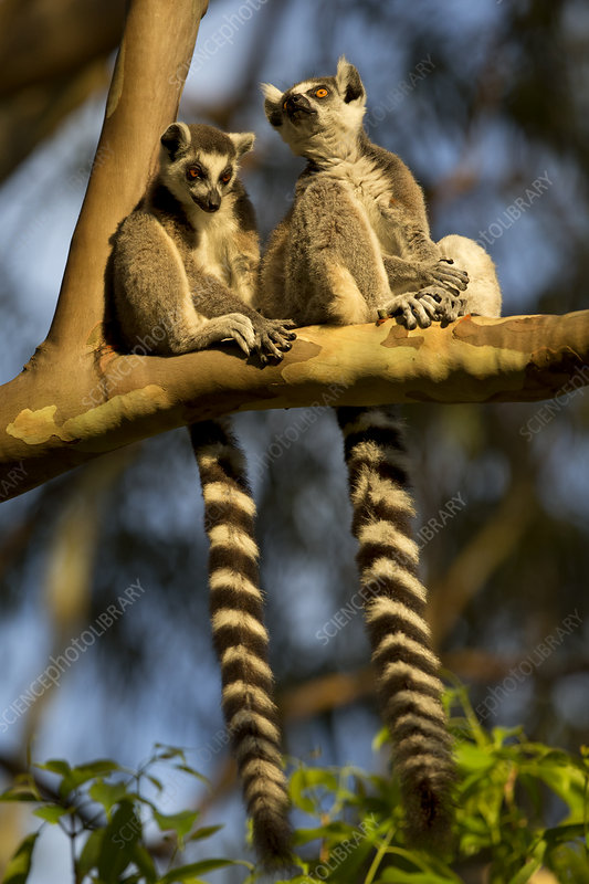 Ringtail Lemurs sitting on branch, Madagascar