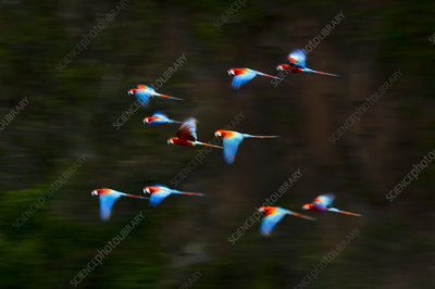 Red-and-Green Macaws or Green-winged Macaws in flight