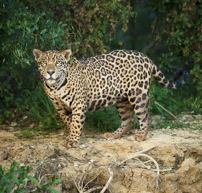 Wild male Jaguar along the bank of the Cuiaba River, Brazil