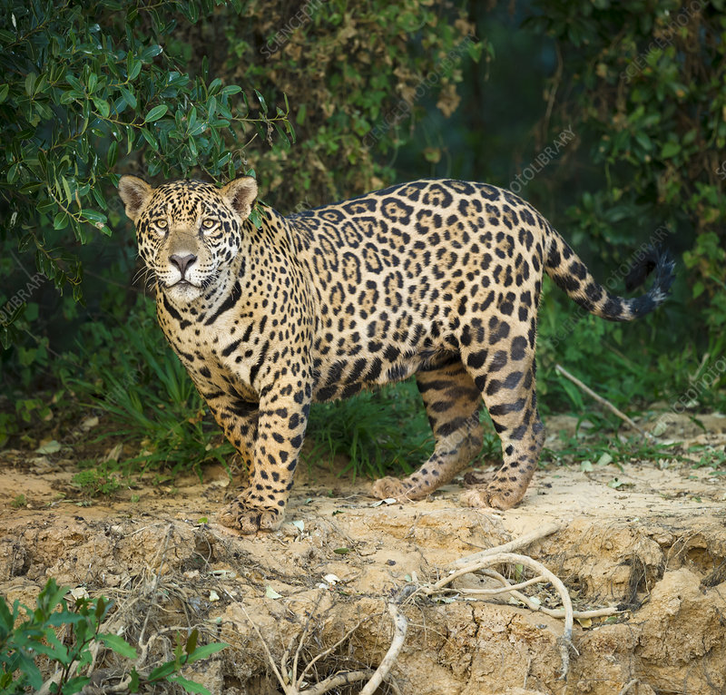 Wild male Jaguar along the bank of the Cuiaba River, Brazil