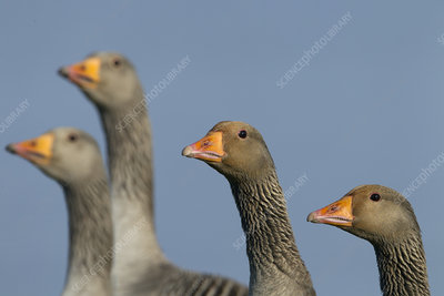 Greylag Geese group, Cley Nature Reserve, Norfolk, UK