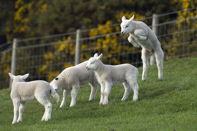 Spring lambs playing in grass meadow, UK