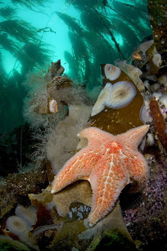 Leather sea star in shallow water