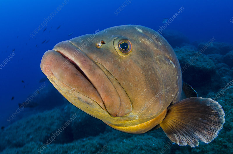 Large dusky grouper