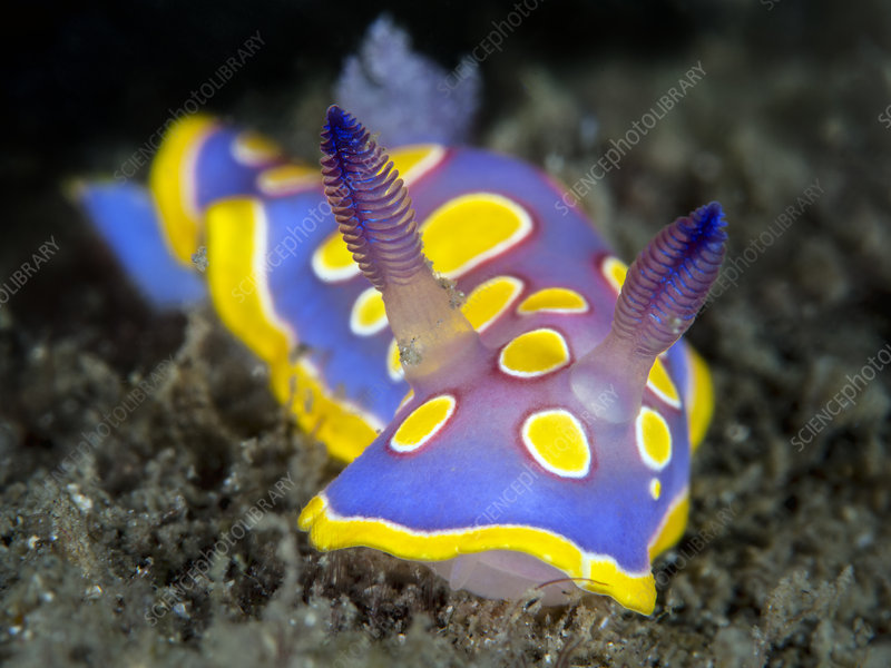 Nudibranch crawls across the seabed searching for food