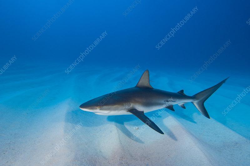 Caribbean reef shark over sand ripples, Walkers Cay, Bahamas