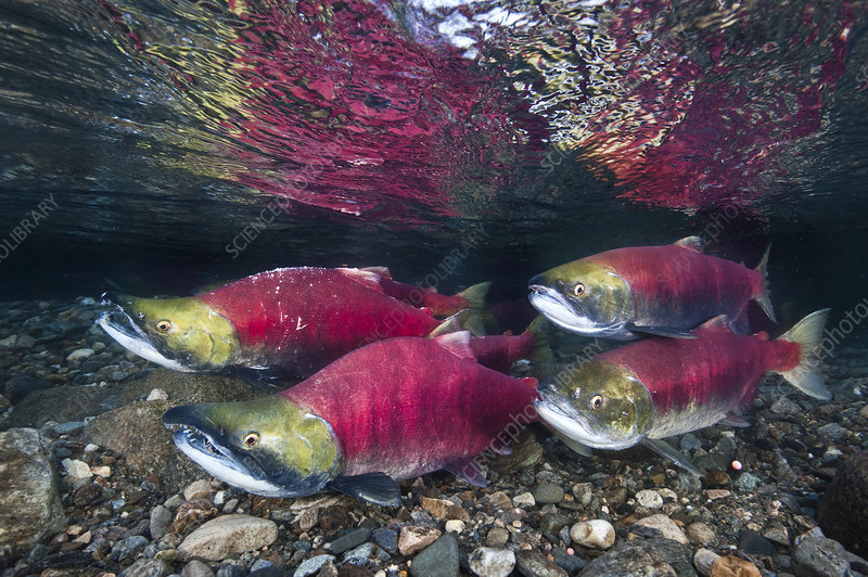 Group of Sockeye salmon in their spawning river