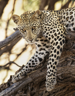 Leopard Kgalagadi Transfrontier Park, South Africa