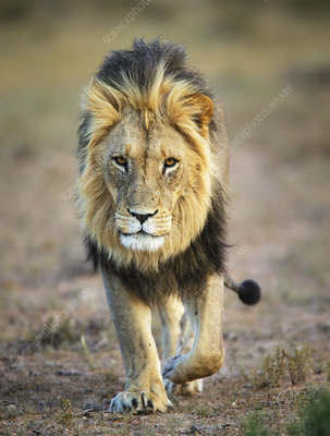 Lion, male, Kgalagadi Transfrontier Park, South Africa
