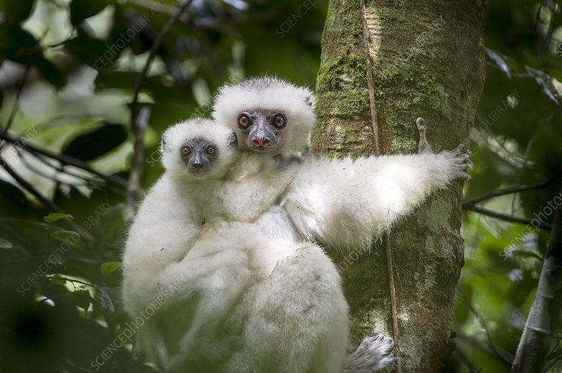 Female Silky Sifaka with 2-month old offspring