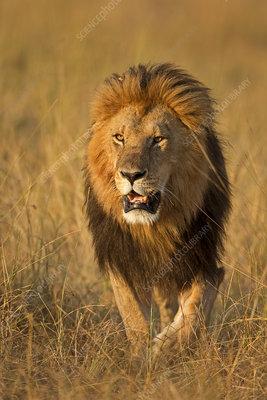 African Lion male, Maasai Mara, Kenya