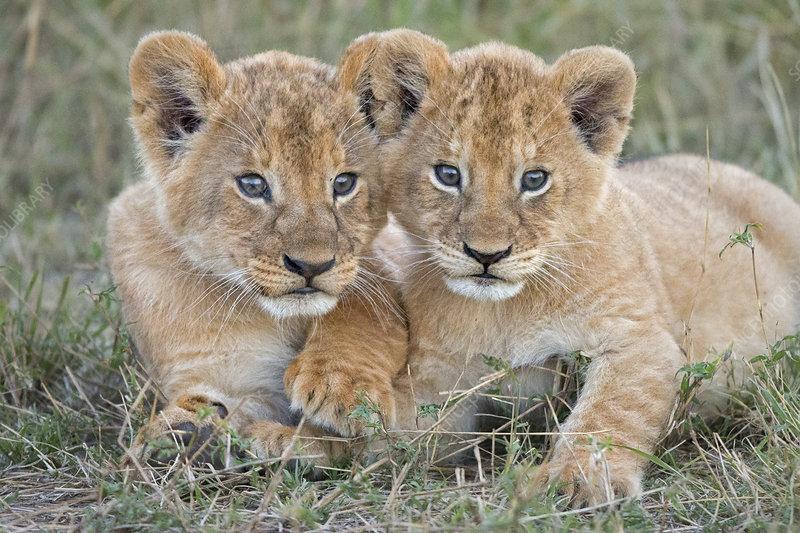 African Lion young cubs sitting together, Maasai Mara, Kenya