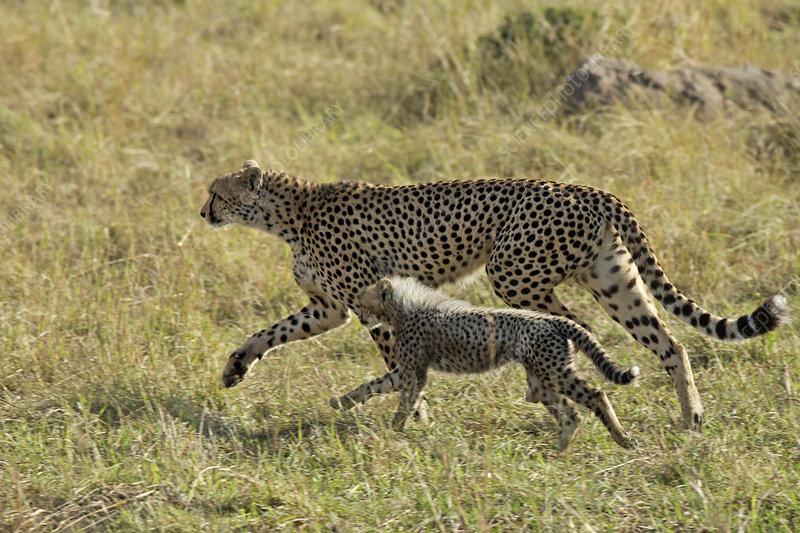 Cheetah mother and young, Maasai Mara, Kenya