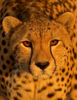 Cheetah, Maasai Mara, Kenya