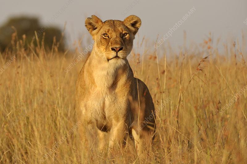 African Lion female hunting, Masai Mara, Kenya