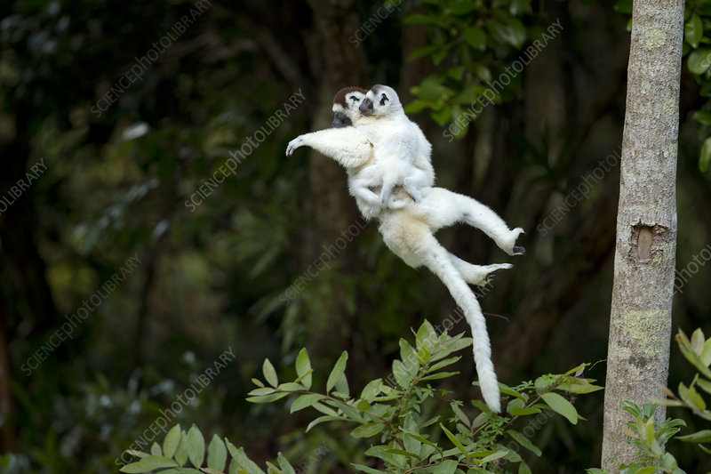 Verreaux Sifaka mother carrying baby