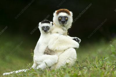 Verreaux Sifaka mother carrying baby, Madagascar