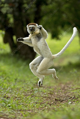 Verreaux Sifaka jumping across ground, Madagascar