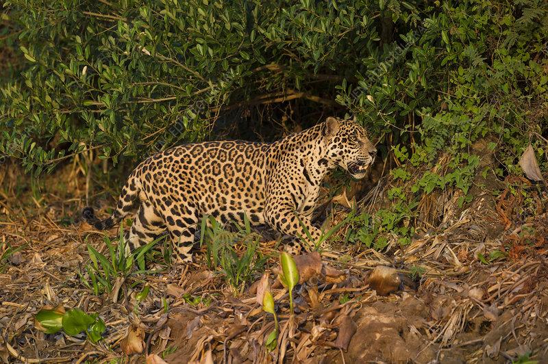 Wild male Jaguar stalking along bank of Cuiaba River, Brazil