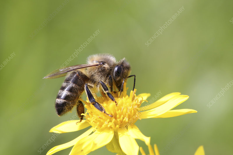 Honey Bee worker gathering nectar from Ragwort