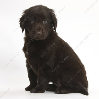 Liver Flatcoated Retriever puppy