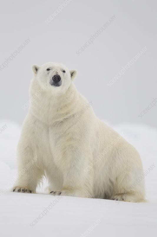 Polar bear on ice floe, Svalbard, Norway