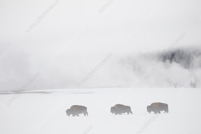 Procession of Bison in front of geysers in winter