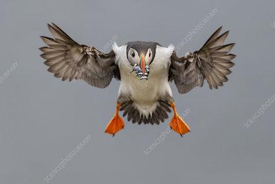 Atlantic Puffin in flight with beak full of sand eels