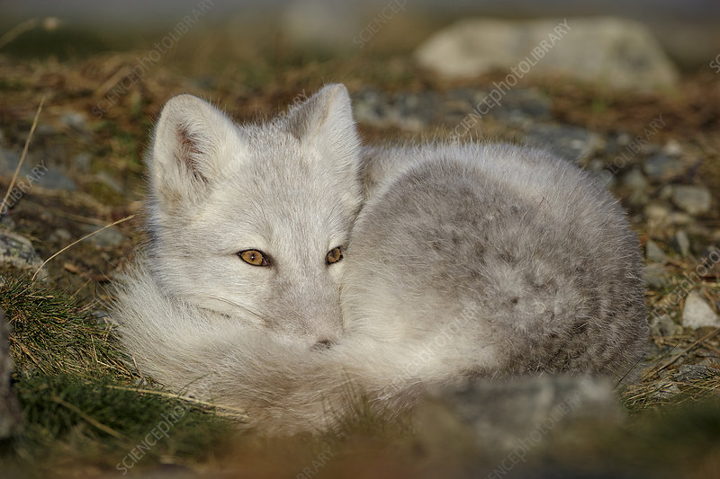 Arctic Fox curled up, resting, during moult