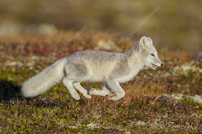 Arctic Fox running with all four feet off the ground