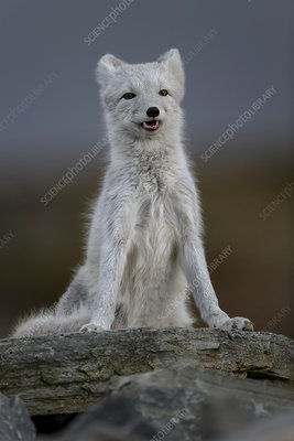 Arctic Fox, during moult