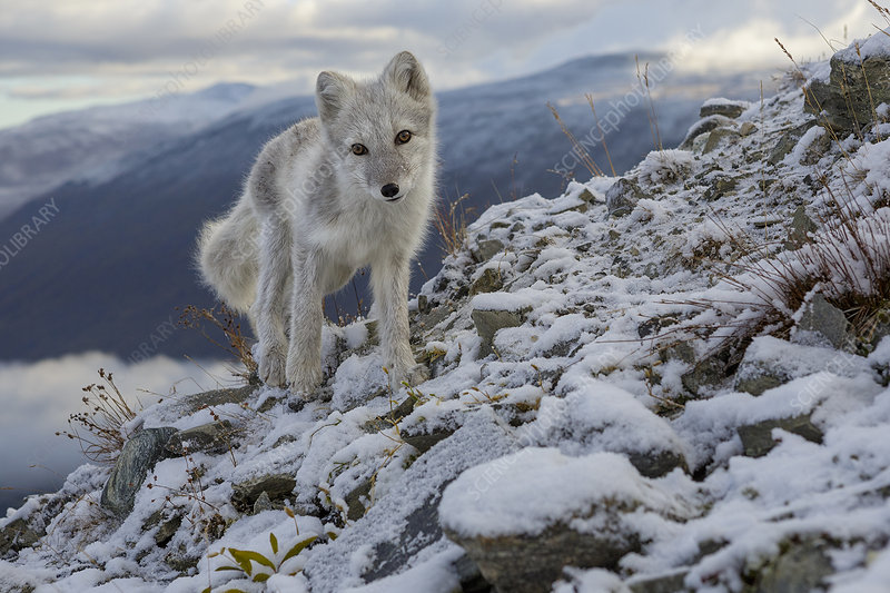 Arctic Fox standing on ridge, during moult