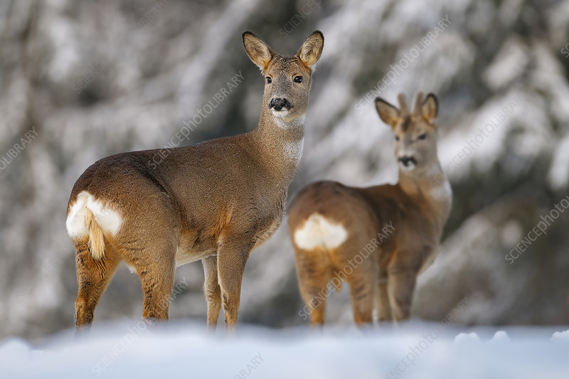 Roe deer in snow, Female and yearling male