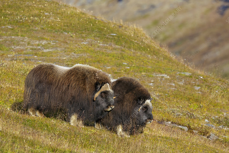 Male and female Muskox standing together