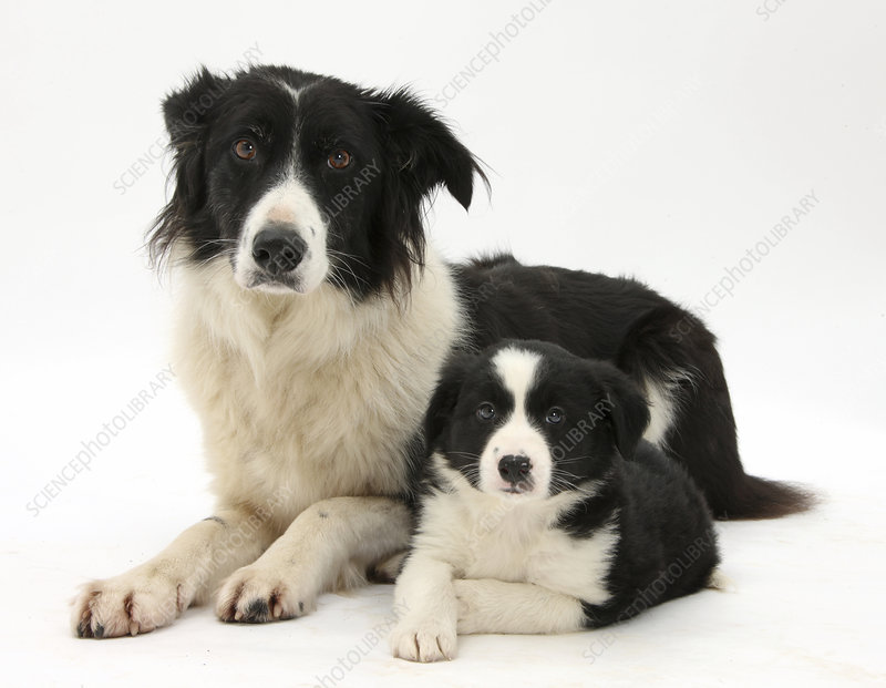 Black-and-white Border Collie and pup