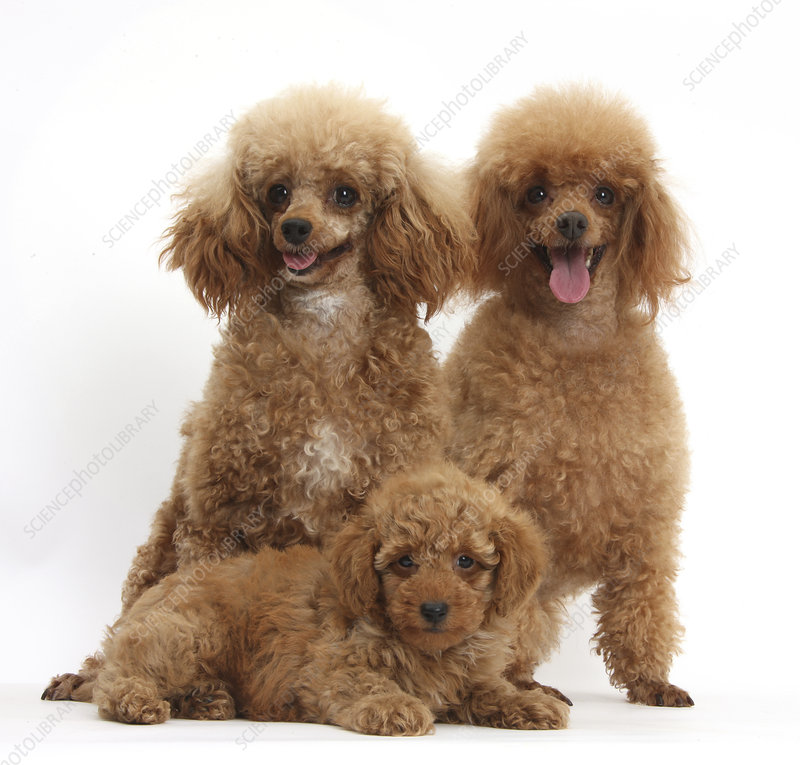 Red Toy Poodle bitch and puppy