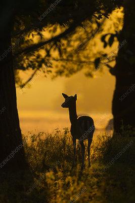 Fallow deer doe at sunrise during rut