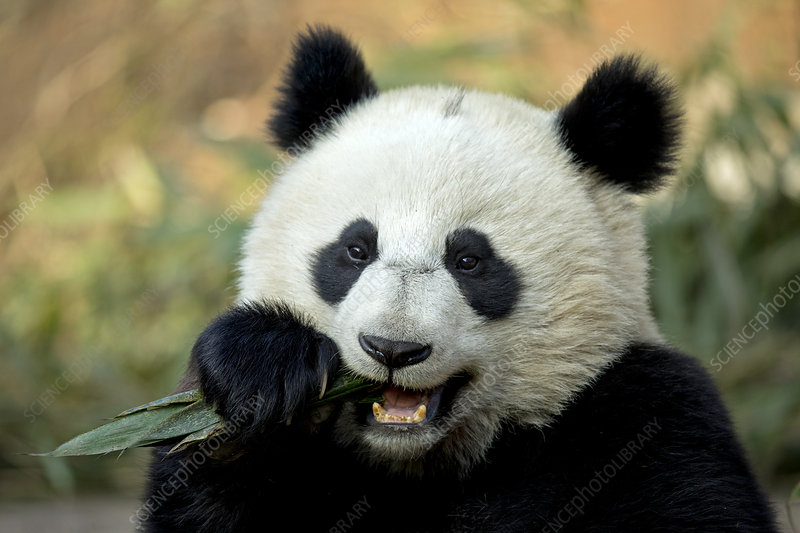 Giant Panda sub adult feeding
