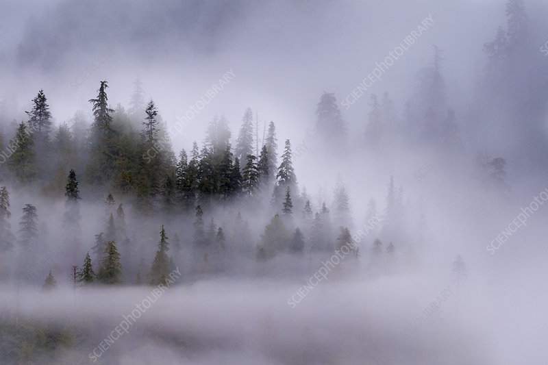Early morning mist over coastal coniferous forest