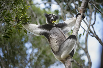 Adult Indri feeding in rainforest canopy