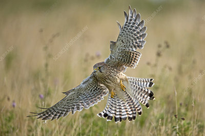 Kestrel swooping whilst hunting, UK