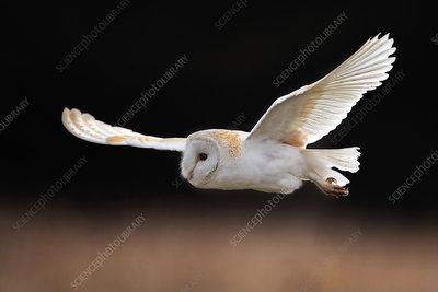 Barn Owl hunting, UK