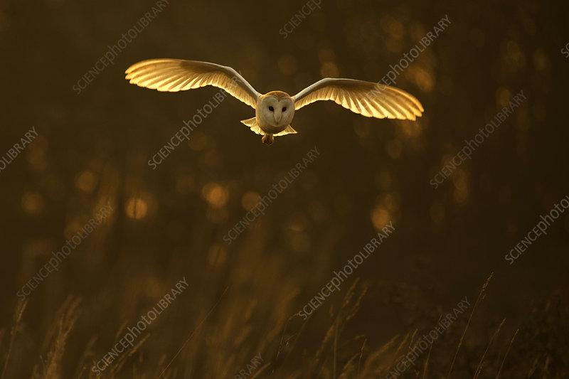 Barn Owl hunting in late sunlight, UK