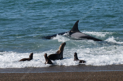 Orca hunting sea lion pups