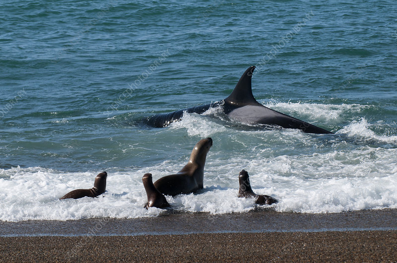 Orca hunting sea lion pups