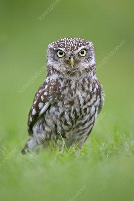 Little Owl standing on ground, UK