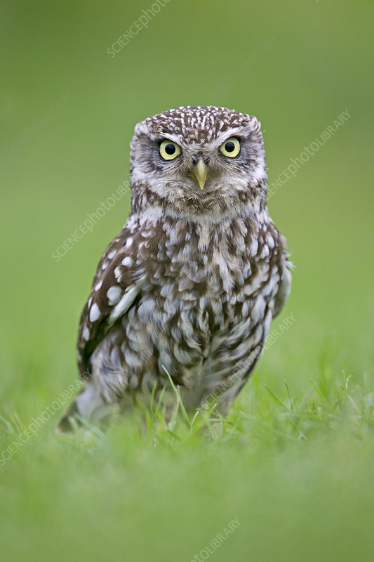 Little Owl standing on ground, UK