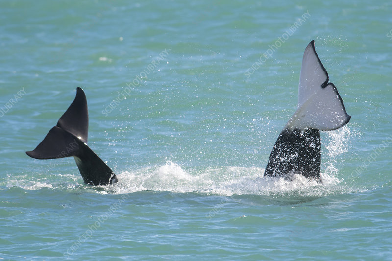 Two Orca whales diving with caudal fins out of water
