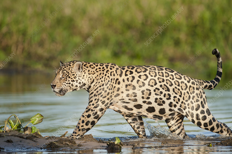 Wild male Jaguar
