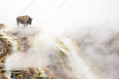 Bison standing in steam from geothermal springs